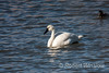 Tundra Swan, or Whiistling Swan, Cygnus columbianus, La Plata County, Colorado, USA, North America