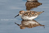 Western Sandpiper, Calidris mauri, La Plata County, Colorado, USA, North America