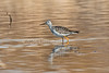 Lesser Yellowlegs, Tringa flavipes, La Plata County, Colorado, USA, North America