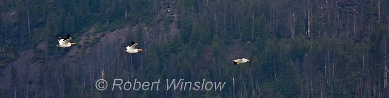 Flying American White Pelicans, Pelecanus erythrorhynchos, Grand Teton National Park, Wyoming, USA, North America