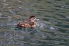 Ring-necked Duck, Aythya collaris, female, La Plata County, Colorado, USA, North America