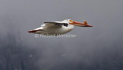 Flying American White Pelican, Pelecanus erythrorhynchos, Grand Teton National Park, Wyoming, USA, North America