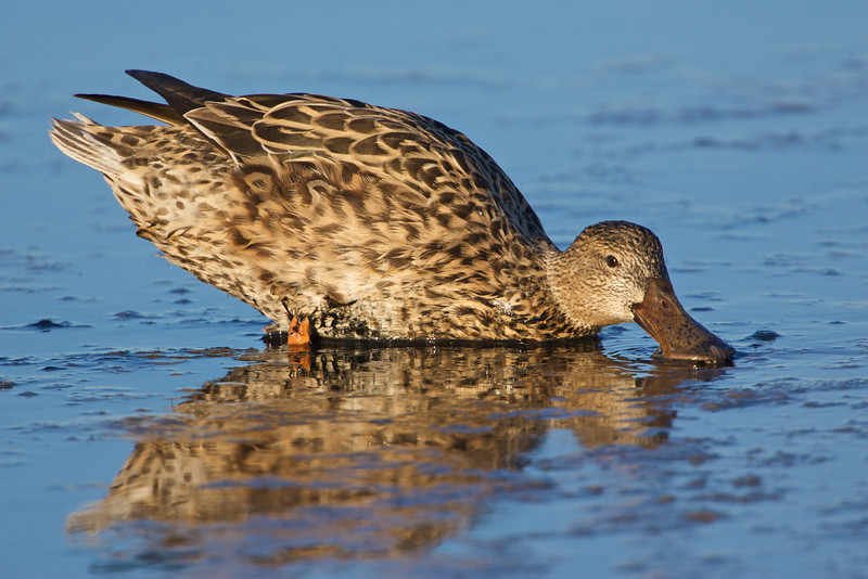 Nothern Shoveler female