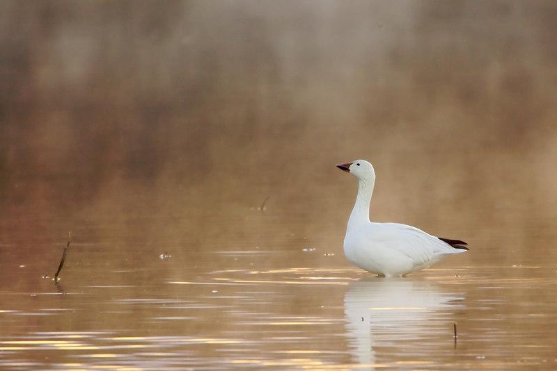 Snow goose in the mist
