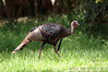 Osceola Turkey