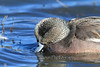 IMG_6016Widgeon