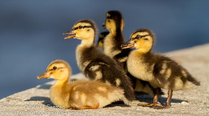 Mallard-Mut Ducklings