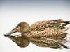 Northern Shoveler (Anas clypeata)