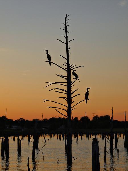 Cormorants, Ducks and Geese