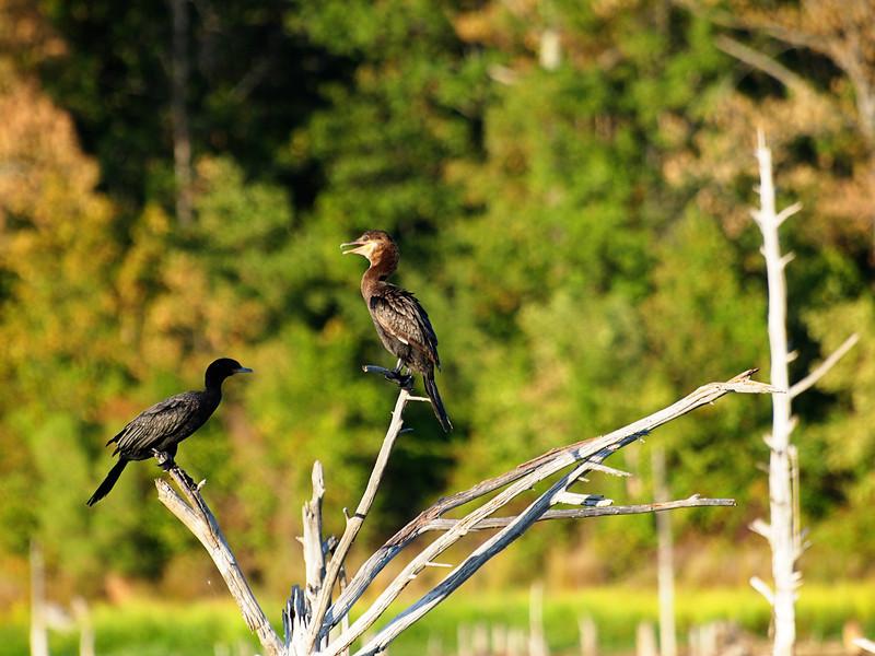 Black Cormorants on Lake Fork, Texas  Order Code: A27
