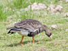 Greater White-fronted Goose (Anser albifrons)