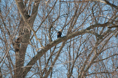 Not great, but I came across a bald eagle in the woods near where I live... we have a river but it's really too small for eagles to fish.  This eagle was watching over a large field that sometimes has cows, I suspect hunting rabbits.  Couldn't get closer because it's winter and I'd have to cross the river.
