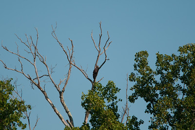 one of the baby eagles from this year's nest at great falls (7/11/10).