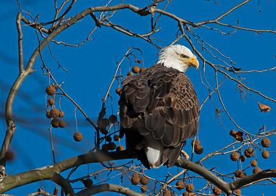 Eagles, December 2015