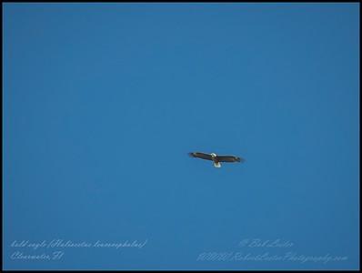 2019-04-24_ m1300iso400 bald eagle __4240121