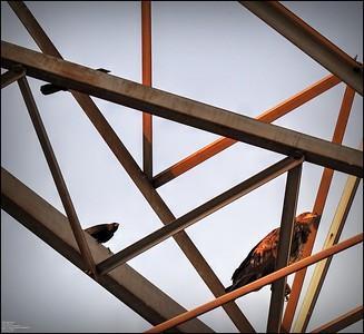 P5130034_ Bald Eagle imm