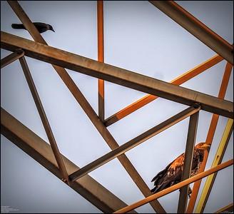 P5130050_ Bald Eagle imm