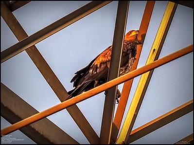 P5130040_ Bald Eagle imm