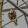 Bald Eagle,Clearwater,Fl(BOB hdr+)   2018-03-20-3200004