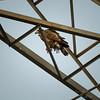 Bald Eagle    (hdr1)   2018-02-20-2200043