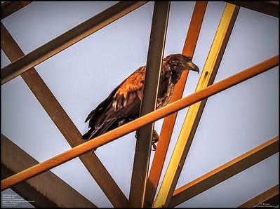 P5130051_ Bald Eagle imm