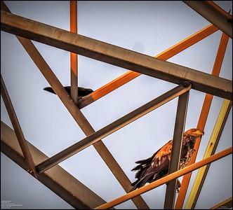 P5130044_ Bald Eagle imm