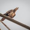 Bald Eagle (IMM)    (amworkf)   2018-03-10-3100018