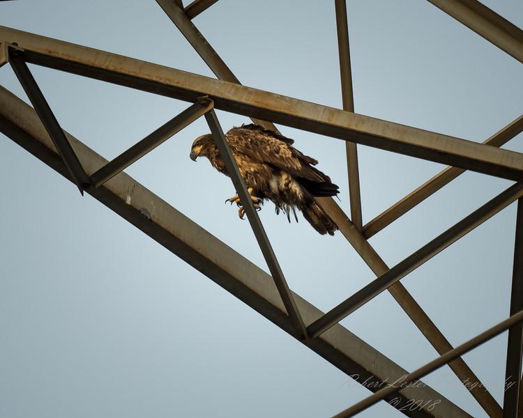 Bald Eagle    (hdr1)   2018-02-20-2200042