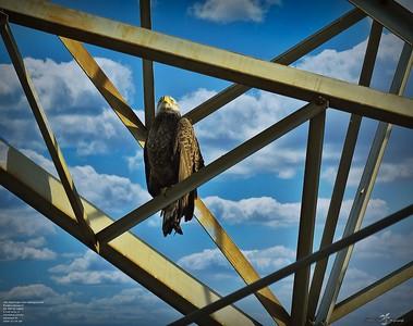 Imm Bald Eagle
