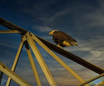 2020-12-26_41_bald eagle