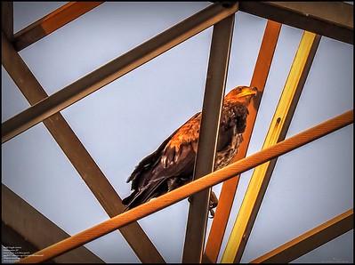 P5130042_ Bald Eagle imm