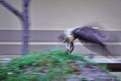 _008_bald eagle_04012021