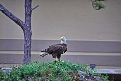 _007_bald eagle_04012021