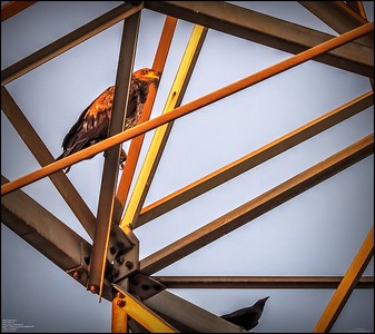 P5130037_ Bald Eagle imm
