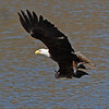 "An eagle (the same as the two previous pictures) with a fresh catch from Salmon Creek. Seen near Klineline Park in Vancouver, WA.  <div class=""ss-paypal-button""><br><form target=""paypal"" action=""https://www.paypal.com/cgi-bin/webscr"" method=""post"" ><input type=""hidden"" name=""cmd"" value=""_cart""><input type=""hidden"" name=""business"" value=""947PXEXBHP9H8""><input type=""hidden"" name=""lc"" value=""US""><input type=""hidden"" name=""item_name"" value=""An eagle (the same as the two previous pictures) with a fresh catch from Salmon Creek. Seen near Klineline Park in Vancouver, WA.""><input type=""hidden"" name=""item_number"" value=""http://www.werthwildphotography.com/Animals/Birds/Eagles/i-QPBFqxK""><input type=""hidden"" name=""button_subtype"" value=""products""><input type=""hidden"" name=""no_note"" value=""0""><input type=""hidden"" name=""cn"" value=""Add special instructions to the seller:""><input type=""hidden"" name=""no_shipping"" value=""2""><input type=""hidden"" name=""currency_code"" value=""USD""><input type=""hidden"" name=""shipping"" value=""4.00""><input type=""hidden"" name=""add"" value=""1""><input type=""hidden"" name=""bn"" value=""PP-ShopCartBF:btn_cart_LG.gif:NonHosted""><table class=""printSize""><tr><td><input type=""hidden"" name=""on0"" value=""Print size"">Print size</td></tr><tr><td><select name=""os0""> <option value=""5 x 7"">5 x 7 $14.00 USD</option> <option value=""8 x 10"">8 x 10 $20.00 USD</option> <option value=""8 x 12"">8 x 12 $20.00 USD</option> <option value=""11 x 14"">11 x 14 $28.00 USD</option> <option value=""12 x 18"">12 x 18 $35.00 USD</option> <option value=""16 x 20"">16 x 20 $50.00 USD</option></select> </td></tr></table><input type=""hidden"" name=""currency_code"" value=""USD""><input type=""hidden"" name=""option_select0"" value=""5 x 7""><input type=""hidden"" name=""option_amount0"" value=""14.00""><input type=""hidden"" name=""option_select1"" value=""8 x 10""><input type=""hidden"" name=""option_amount1"" value=""20.00""><input type=""hidden"" name=""option_select2"" value=""8 x 12""><input type=""hidden"" name=""option_amount2"" value=""20.00""><input type=""hidden"" name=""option_select3"" value=""11 x 14""><input type=""hidden"" name=""option_amount3"" value=""28.00""><input type=""hidden"" name=""option_select4"" value=""12 x 18""><input type=""hidden"" name=""option_amount4"" value=""35.00""><input type=""hidden"" name=""option_select5"" value=""16 x 20""><input type=""hidden"" name=""option_amount5"" value=""50.00""><input type=""hidden"" name=""option_index"" value=""0""><input type=""image"" src=""https://www.paypalobjects.com/en_US/i/btn/btn_cart_LG.gif"" border=""0"" name=""submit"" alt=""PayPal - The safer, easier way to pay online!"" class=""btnPayPal""><img alt="""" border=""0"" src=""https://www.paypalobjects.com/en_US/i/scr/pixel.gif"" width=""1"" height=""1""></form></div><div class=""ss-paypal-button-end"" style=""display:none""></div>"