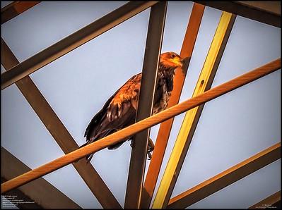 P5130035_ Bald Eagle imm