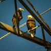 Bald Eagles    (warb)   2018-03-05-3050013