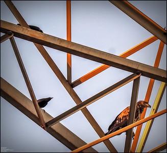 P5130033_ Bald Eagle imm