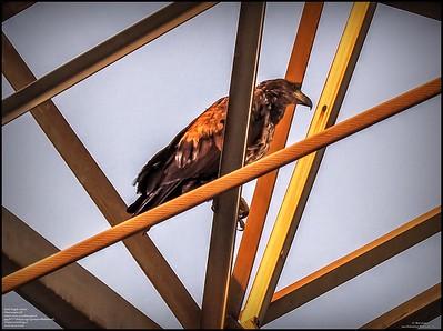 P5130052_ Bald Eagle imm