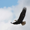 "An adult bald eagle looking for fish in Salmon Creek right next to Klineline Park in Vancouver, WA.  <div class=""ss-paypal-button""><br><form target=""paypal"" action=""https://www.paypal.com/cgi-bin/webscr"" method=""post"" ><input type=""hidden"" name=""cmd"" value=""_cart""><input type=""hidden"" name=""business"" value=""947PXEXBHP9H8""><input type=""hidden"" name=""lc"" value=""US""><input type=""hidden"" name=""item_name"" value=""An adult bald eagle looking for fish in Salmon Creek right next to Klineline Park in Vancouver, WA.""><input type=""hidden"" name=""item_number"" value=""http://www.werthwildphotography.com/Animals/Birds/Eagles/i-V3tRtvq""><input type=""hidden"" name=""button_subtype"" value=""products""><input type=""hidden"" name=""no_note"" value=""0""><input type=""hidden"" name=""cn"" value=""Add special instructions to the seller:""><input type=""hidden"" name=""no_shipping"" value=""2""><input type=""hidden"" name=""currency_code"" value=""USD""><input type=""hidden"" name=""shipping"" value=""4.00""><input type=""hidden"" name=""add"" value=""1""><input type=""hidden"" name=""bn"" value=""PP-ShopCartBF:btn_cart_LG.gif:NonHosted""><table class=""printSize""><tr><td><input type=""hidden"" name=""on0"" value=""Print size"">Print size</td></tr><tr><td><select name=""os0""> <option value=""5 x 7"">5 x 7 $14.00 USD</option> <option value=""8 x 10"">8 x 10 $20.00 USD</option> <option value=""8 x 12"">8 x 12 $20.00 USD</option> <option value=""11 x 14"">11 x 14 $28.00 USD</option> <option value=""12 x 18"">12 x 18 $35.00 USD</option> <option value=""16 x 20"">16 x 20 $50.00 USD</option></select> </td></tr></table><input type=""hidden"" name=""currency_code"" value=""USD""><input type=""hidden"" name=""option_select0"" value=""5 x 7""><input type=""hidden"" name=""option_amount0"" value=""14.00""><input type=""hidden"" name=""option_select1"" value=""8 x 10""><input type=""hidden"" name=""option_amount1"" value=""20.00""><input type=""hidden"" name=""option_select2"" value=""8 x 12""><input type=""hidden"" name=""option_amount2"" value=""20.00""><input type=""hidden"" name=""option_select3"" value=""11 x 14""><input type=""hidden"" name=""option_amount3"" value=""28.00""><input type=""hidden"" name=""option_select4"" value=""12 x 18""><input type=""hidden"" name=""option_amount4"" value=""35.00""><input type=""hidden"" name=""option_select5"" value=""16 x 20""><input type=""hidden"" name=""option_amount5"" value=""50.00""><input type=""hidden"" name=""option_index"" value=""0""><input type=""image"" src=""https://www.paypalobjects.com/en_US/i/btn/btn_cart_LG.gif"" border=""0"" name=""submit"" alt=""PayPal - The safer, easier way to pay online!"" class=""btnPayPal""><img alt="""" border=""0"" src=""https://www.paypalobjects.com/en_US/i/scr/pixel.gif"" width=""1"" height=""1""></form></div><div class=""ss-paypal-button-end"" style=""display:none""></div>"