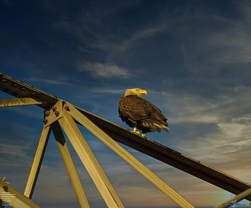 2020-12-26_03_bald eagle