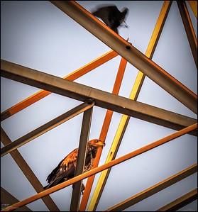 P5130038_ Bald Eagle imm