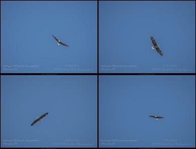 2019-04-24_ m1300iso400 bald eagle __4240108-collage