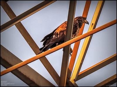P5130053_ Bald Eagle imm
