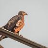 Bald Eagle (IMM)    (amworkf )   2018-03-10-3100022