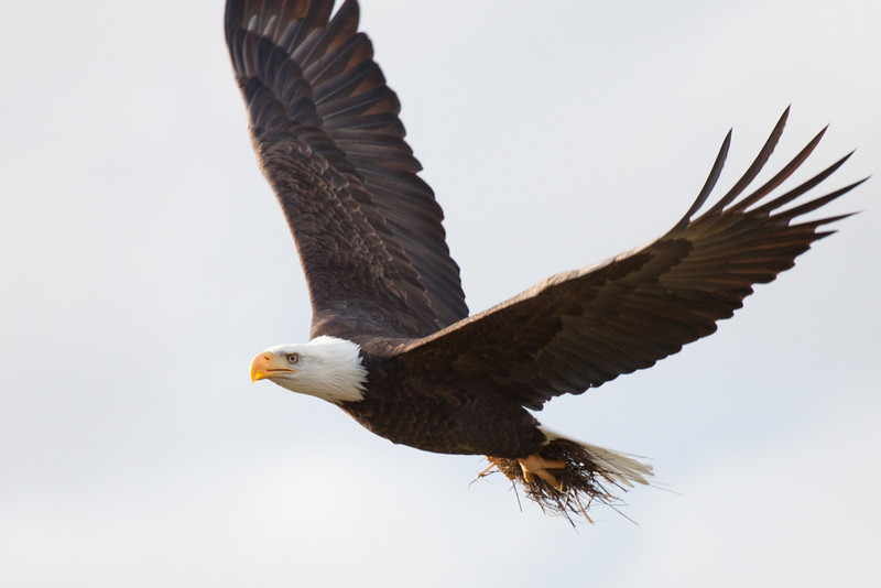 """Ridgefield National Wildlife Refuge, WA  <div class=""""ss-paypal-button""""><br><form target=""""paypal"""" action=""""https://www.paypal.com/cgi-bin/webscr"""" method=""""post"""" ><input type=""""hidden"""" name=""""cmd"""" value=""""_cart""""><input type=""""hidden"""" name=""""business"""" value=""""947PXEXBHP9H8""""><input type=""""hidden"""" name=""""lc"""" value=""""US""""><input type=""""hidden"""" name=""""item_name"""" value=""""ridge-42.jpg""""><input type=""""hidden"""" name=""""item_number"""" value=""""http://www.werthwildphotography.com/Animals/Birds/Eagles/i-dpT5JwL""""><input type=""""hidden"""" name=""""button_subtype"""" value=""""products""""><input type=""""hidden"""" name=""""no_note"""" value=""""0""""><input type=""""hidden"""" name=""""cn"""" value=""""Add special instructions to the seller:""""><input type=""""hidden"""" name=""""no_shipping"""" value=""""2""""><input type=""""hidden"""" name=""""currency_code"""" value=""""USD""""><input type=""""hidden"""" name=""""shipping"""" value=""""4.00""""><input type=""""hidden"""" name=""""add"""" value=""""1""""><input type=""""hidden"""" name=""""bn"""" value=""""PP-ShopCartBF:btn_cart_LG.gif:NonHosted""""><table class=""""printSize""""><tr><td><input type=""""hidden"""" name=""""on0"""" value=""""Print size"""">Print size</td></tr><tr><td><select name=""""os0""""> <option value=""""5 x 7"""">5 x 7 $14.00 USD</option> <option value=""""8 x 10"""">8 x 10 $20.00 USD</option> <option value=""""8 x 12"""">8 x 12 $20.00 USD</option> <option value=""""11 x 14"""">11 x 14 $28.00 USD</option> <option value=""""12 x 18"""">12 x 18 $35.00 USD</option> <option value=""""16 x 20"""">16 x 20 $50.00 USD</option></select> </td></tr></table><input type=""""hidden"""" name=""""currency_code"""" value=""""USD""""><input type=""""hidden"""" name=""""option_select0"""" value=""""5 x 7""""><input type=""""hidden"""" name=""""option_amount0"""" value=""""14.00""""><input type=""""hidden"""" name=""""option_select1"""" value=""""8 x 10""""><input type=""""hidden"""" name=""""option_amount1"""" value=""""20.00""""><input type=""""hidden"""" name=""""option_select2"""" value=""""8 x 12""""><input type=""""hidden"""" name=""""option_amount2"""" value=""""20.00""""><input type=""""hidden"""" name=""""option_select3"""" value=""""11 x 14""""><input type=""""hidden"""" name=""""option_amount3"""" value=""""28.00""""><input type=""""hidden"""" name=""""option_select4"""" value=""""12 x 18""""><input type=""""hidden"""" nam"""
