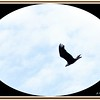 Bald Eagle...Aug 15, 2011......Clearwater, Florida