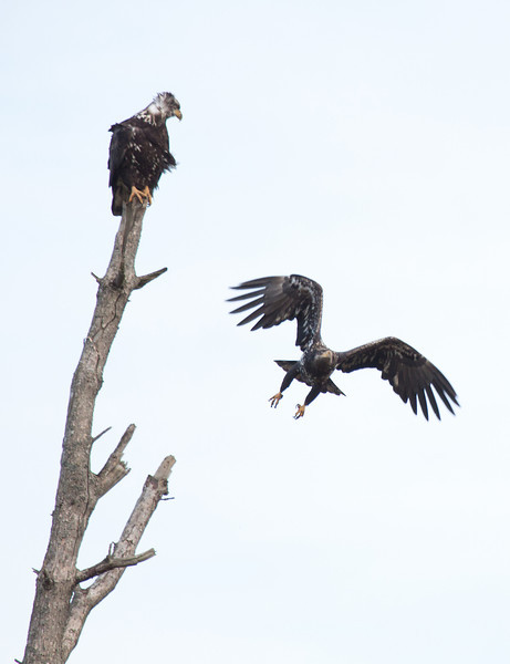 """Nisqually National Wildlife Refuge, WA  <div class=""""ss-paypal-button""""><br><form target=""""paypal"""" action=""""https://www.paypal.com/cgi-bin/webscr"""" method=""""post"""" ><input type=""""hidden"""" name=""""cmd"""" value=""""_cart""""><input type=""""hidden"""" name=""""business"""" value=""""947PXEXBHP9H8""""><input type=""""hidden"""" name=""""lc"""" value=""""US""""><input type=""""hidden"""" name=""""item_name"""" value=""""ridge-8.jpg""""><input type=""""hidden"""" name=""""item_number"""" value=""""http://www.werthwildphotography.com/Animals/Birds/Eagles/i-hbRnmk9""""><input type=""""hidden"""" name=""""button_subtype"""" value=""""products""""><input type=""""hidden"""" name=""""no_note"""" value=""""0""""><input type=""""hidden"""" name=""""cn"""" value=""""Add special instructions to the seller:""""><input type=""""hidden"""" name=""""no_shipping"""" value=""""2""""><input type=""""hidden"""" name=""""currency_code"""" value=""""USD""""><input type=""""hidden"""" name=""""shipping"""" value=""""4.00""""><input type=""""hidden"""" name=""""add"""" value=""""1""""><input type=""""hidden"""" name=""""bn"""" value=""""PP-ShopCartBF:btn_cart_LG.gif:NonHosted""""><table class=""""printSize""""><tr><td><input type=""""hidden"""" name=""""on0"""" value=""""Print size"""">Print size</td></tr><tr><td><select name=""""os0""""> <option value=""""5 x 7"""">5 x 7 $14.00 USD</option> <option value=""""8 x 10"""">8 x 10 $20.00 USD</option> <option value=""""8 x 12"""">8 x 12 $20.00 USD</option> <option value=""""11 x 14"""">11 x 14 $28.00 USD</option> <option value=""""12 x 18"""">12 x 18 $35.00 USD</option> <option value=""""16 x 20"""">16 x 20 $50.00 USD</option></select> </td></tr></table><input type=""""hidden"""" name=""""currency_code"""" value=""""USD""""><input type=""""hidden"""" name=""""option_select0"""" value=""""5 x 7""""><input type=""""hidden"""" name=""""option_amount0"""" value=""""14.00""""><input type=""""hidden"""" name=""""option_select1"""" value=""""8 x 10""""><input type=""""hidden"""" name=""""option_amount1"""" value=""""20.00""""><input type=""""hidden"""" name=""""option_select2"""" value=""""8 x 12""""><input type=""""hidden"""" name=""""option_amount2"""" value=""""20.00""""><input type=""""hidden"""" name=""""option_select3"""" value=""""11 x 14""""><input type=""""hidden"""" name=""""option_amount3"""" value=""""28.00""""><input type=""""hidden"""" name=""""option_select4"""" value=""""12 x 18""""><input type=""""hidden"""" name="""