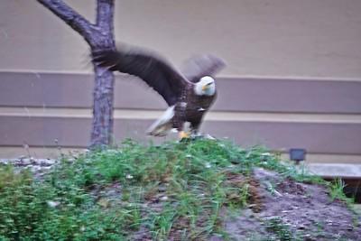 _004_bald eagle_04012021