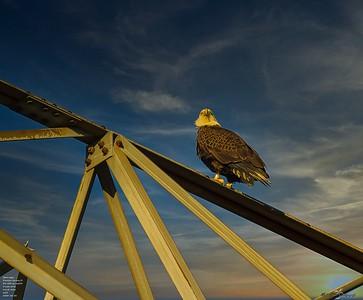 2020-12-26_24_bald eagle